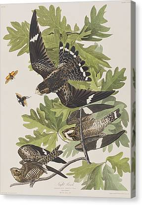 Night Hawk Canvas Print by John James Audubon