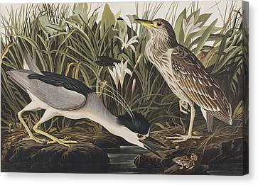 Heron Canvas Print - Night Heron Or Qua Bird by John James Audubon