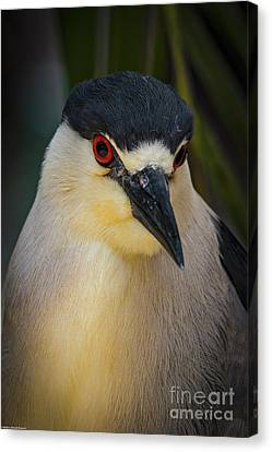 Night Heron Portrait Canvas Print by Mitch Shindelbower