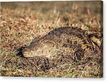 Nile Crocodile On The Bank Of The Chobe Canvas Print by Jacques Jacobsz