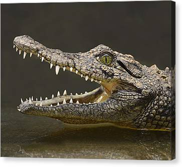 Nile Crocodile Canvas Print by Tony Beck