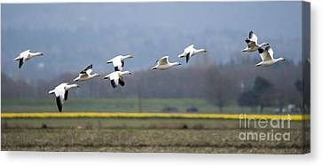 Nine Geese A Flying Canvas Print by Mike Dawson