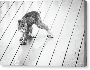 Canvas Print featuring the photograph Ninja Lynx Kitty Bw by Tim Newton