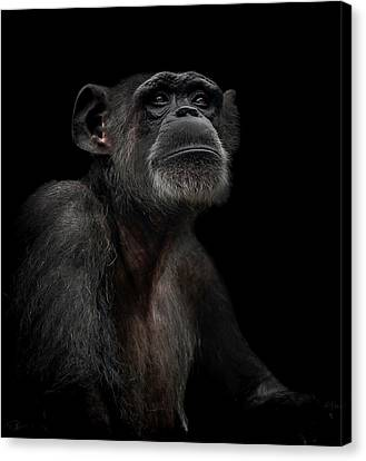 Chimpanzee Canvas Print - Noble by Paul Neville