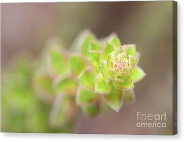 Magnoliopsida Canvas Print - Nodding Pinweed I by Clarence Holmes