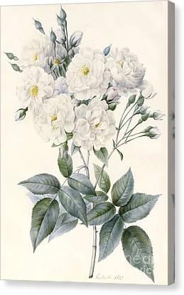 Noisette Rose Canvas Print by Nathalie d'Esmenard