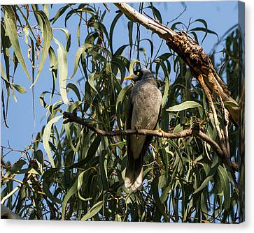 Noisy Miner Bird 2 - Canberra - Australia Canvas Print