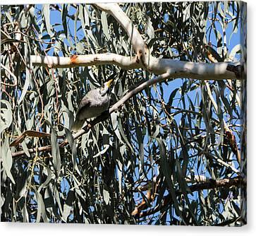 Noisy Miner Bird 1 - Canberra - Australia Canvas Print by Steven Ralser