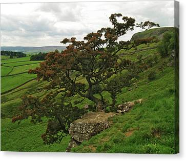 Norber Hawthorn Canvas Print by Steve Watson