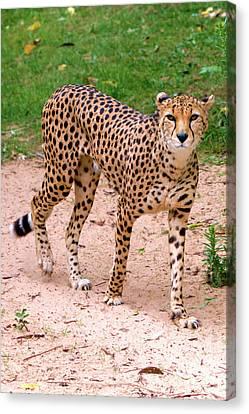 North African Cheetah Canvas Print