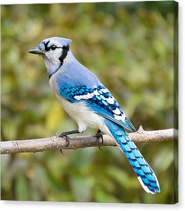 Profile Canvas Print - North American Blue Jay by Jim Hughes