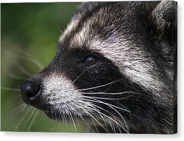 North American Raccoon Profile Canvas Print by Sharon Talson