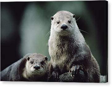 Otter Canvas Print - North American River Otter Lontra by Gerry Ellis