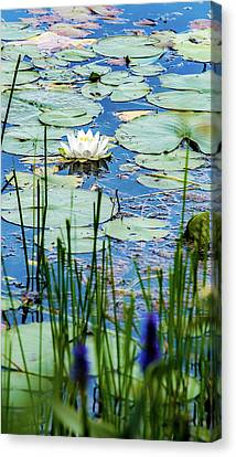 Canvas Print featuring the photograph North American White Water Lily by Onyonet  Photo Studios