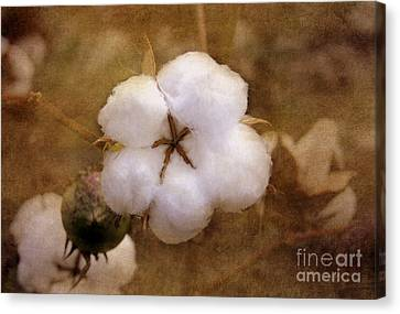 North Carolina Cotton Boll Canvas Print by Benanne Stiens
