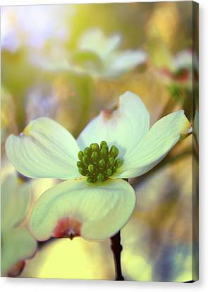 North Carolina Dogwood State Flower Canvas Print by Gray  Artus