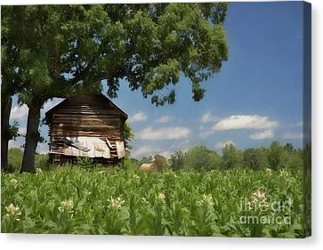 Canvas Print featuring the photograph North Carolina Tobacco by Benanne Stiens
