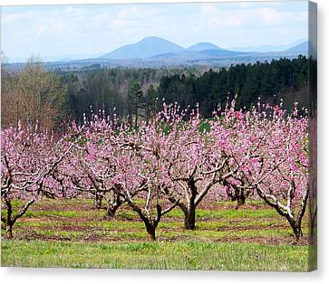 North Georgia Peach Trees In Bloom Canvas Print by Judy Grindle Shook