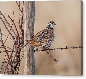 Cattle Run Canvas Print - Northern Bobwhite On A Fence by Morris Finkelstein