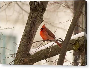 West Virginia Canvas Print - Northern Cardinal 4 by Howard Tenke