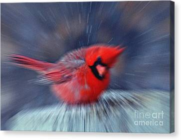 Northern Cardinal Canvas Print by Celestial Images