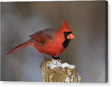 Canvas Print featuring the photograph Northern Cardinal In Winter by Mircea Costina Photography