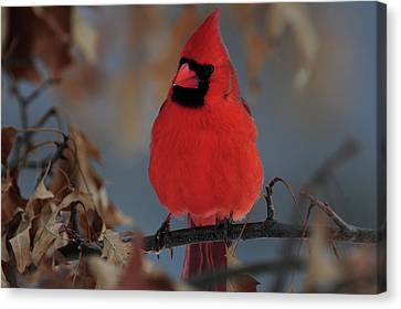 Canvas Print featuring the photograph Northern Cardinal by Mike Martin