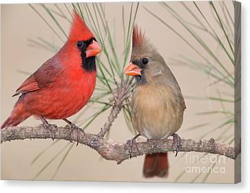 Northern Cardinal Pair In Pine Tree Canvas Print