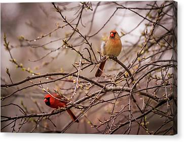 Canvas Print featuring the photograph Northern Cardinal Pair In Spring by Terry DeLuco