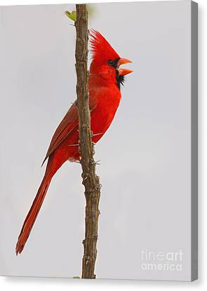 Northern Cardinal Proclaiming Spring Territory Canvas Print by Max Allen