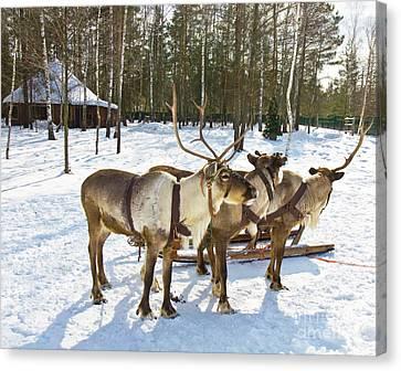 Northern Deers Canvas Print