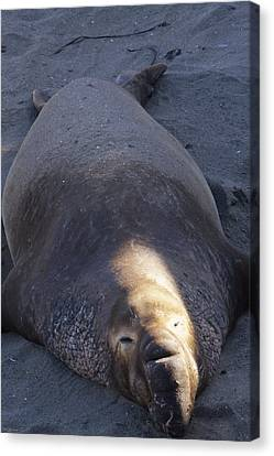 Northern Elephant Seal Canvas Print by Soli Deo Gloria Wilderness And Wildlife Photography