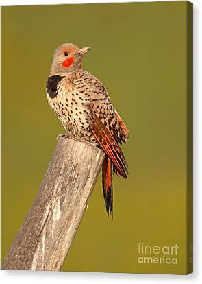 Northern Flicker Looking Back Canvas Print by Max Allen