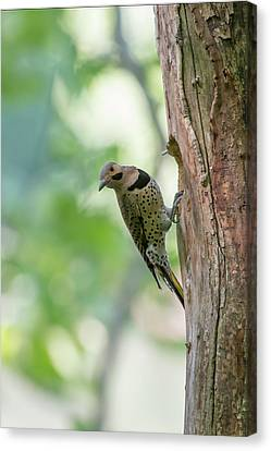 Northern Flicker Outside The Home Canvas Print by Dan Friend