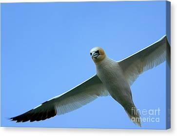 Northern Gannet Flying Through Blue Skies Canvas Print by Sami Sarkis