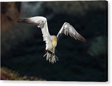 Canvas Print featuring the photograph Northern Gannet In Flight 2 by Grant Glendinning