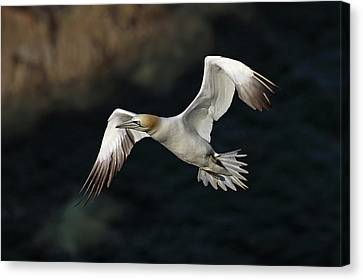 Canvas Print featuring the photograph Northern Gannet In Flight by Grant Glendinning