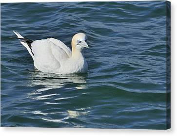 Canvas Print featuring the photograph Northern Gannet Resting On The Water by Bradford Martin