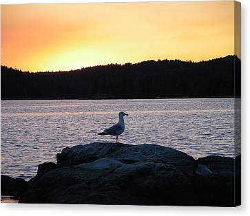 Northern Gull Canvas Print by Peter  McIntosh