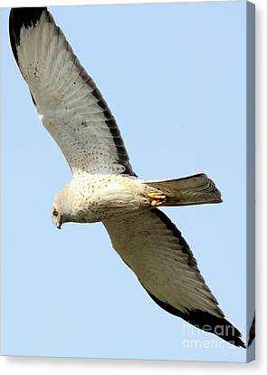 Northern Harrier Hunting . 40d12174 Canvas Print by Wingsdomain Art and Photography
