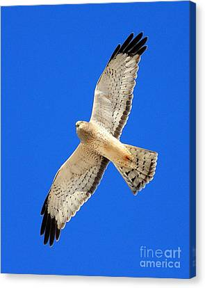 Northern Harrier In Flight Canvas Print by Wingsdomain Art and Photography