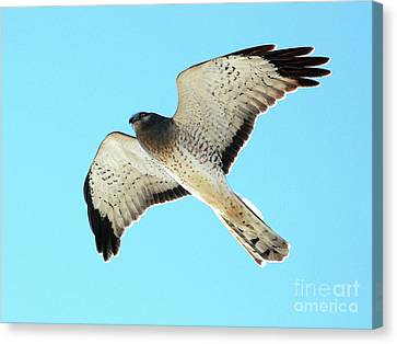 Northern Harrier Marsh Hawk In Flight . 40d3808 Canvas Print by Wingsdomain Art and Photography