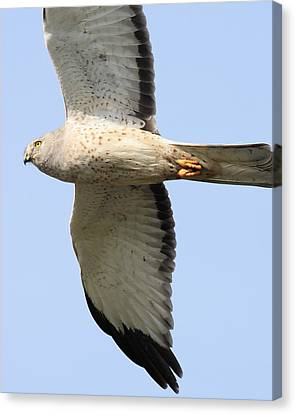 Northern Harrier Canvas Print by Wingsdomain Art and Photography