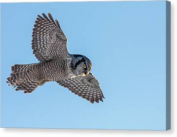 Canvas Print featuring the photograph Northern Hawk Owl Hunting by Mircea Costina Photography