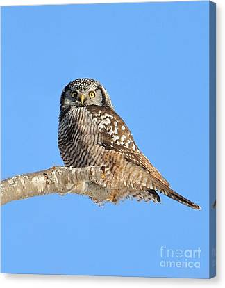 Canvas Print featuring the photograph Northern Hawk-owl On Limb by Debbie Stahre