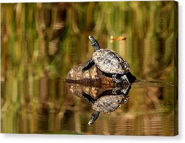 Northern Map Turtle Canvas Print by Debbie Oppermann