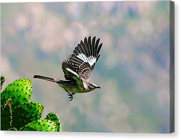 Northern Mockingbird Flying Canvas Print by Dan Redmon