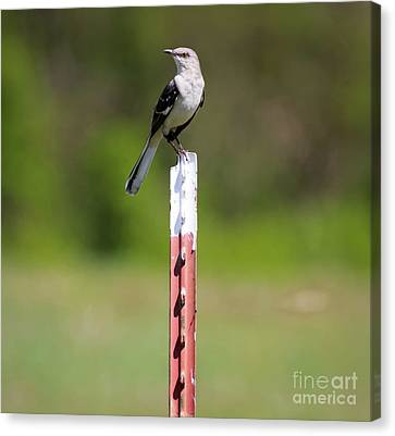 Canvas Print featuring the photograph Northern Mockingbird Posing  by Ricky L Jones