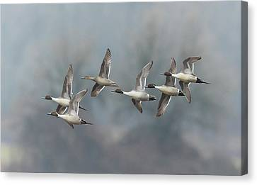 Northern Pintails In Flight Canvas Print by Angie Vogel
