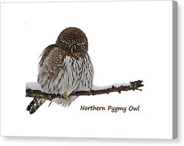 Northern Pygmy Owl 2 Canvas Print